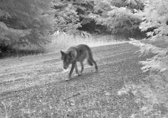 or7 wolf pup pics odfw (7)