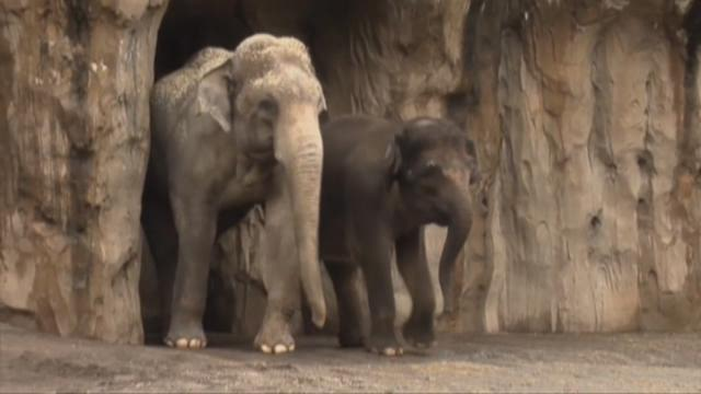 Rama, one of the Oregon Zoo's male asian elephants,