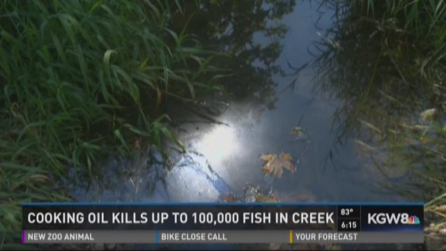 Cooking oil kills up to 100 000 fish in creek for Cookery fish creek